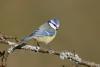 blaumeise-_mg_5500-h-glader