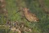 gr-brachvogel-_mg_0446-h-glader