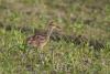 gr-brachvogel-_mg_0471-h-glader