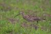 gr-brachvogel-_mg_0668-h-glader