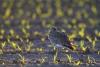 gr-brachvogel-_mg_4385-h-glader