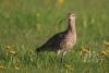 gr-brachvogel-_mg_4896-h-glader