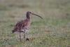 gr-brachvogel-_mg_5967-h-glader