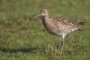 gr-brachvogel-_mg_6568-h-glader