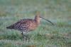 gr-brachvogel-_mg_7689-h-glader