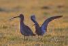 gr-brachvogel-_mg_8773-h-glader