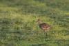 grosser-brachvogel-eos14367-h-glader
