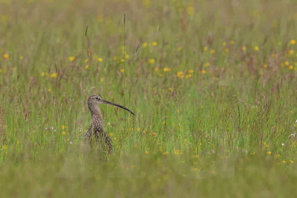 grosser-brachvogel-200605-018-h-glader