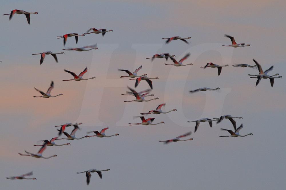 Rosa Flamingos _mg_8127