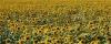 sonnenblumen-h-glader