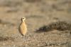 rennvogel-_mg_3656-h-glader