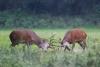 rothirsche-kampf-muensterland-_mg_0180-h-glader